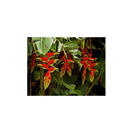 Helikonie červená ( Heliconia farinosa-red ) 5 semen