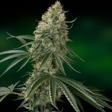 Sin Tra Bajo Auto - fem. A autoflowering semienka 5ks Barney´s Farm