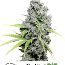 CBD Skunk Haze®- feminizované semienka 3ks Dutch Passion