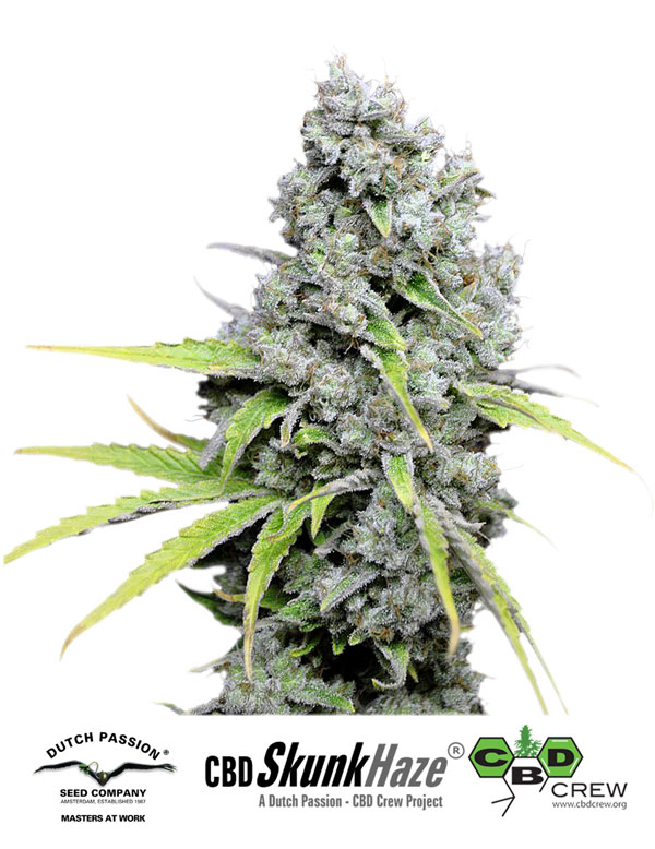 CBD Skunk Haze®- feminizované semínka 3ks Dutch Passion