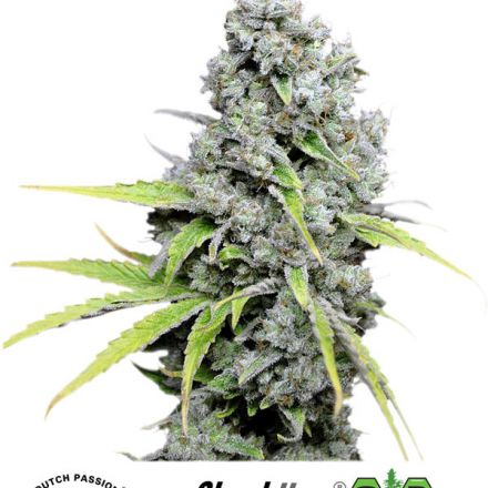 CBD Skunk Haze®- feminizované semínka 5ks Dutch Passion