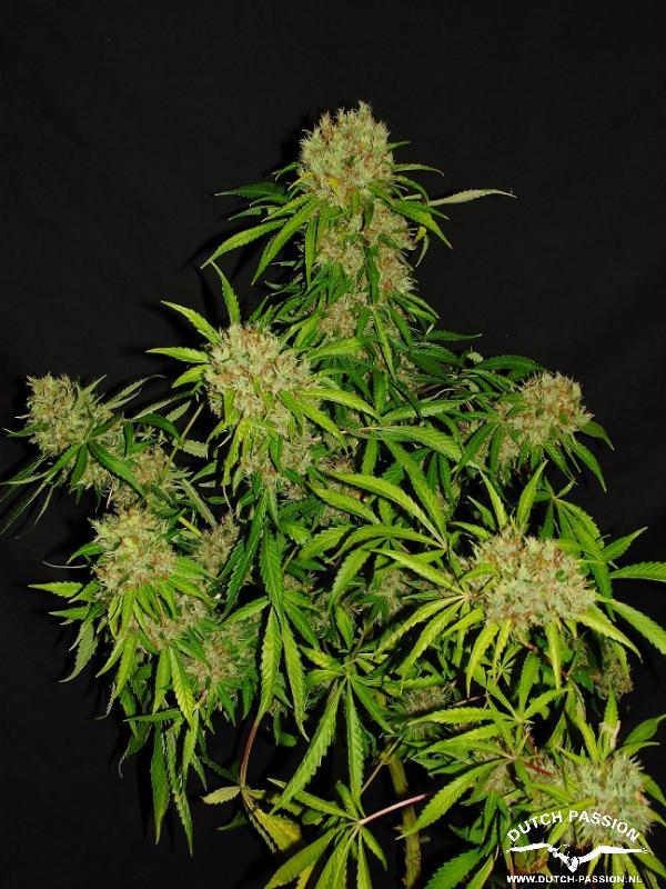 White Widow X The Ultimate®- standardizovaná semínka 10ks Dutch Passion