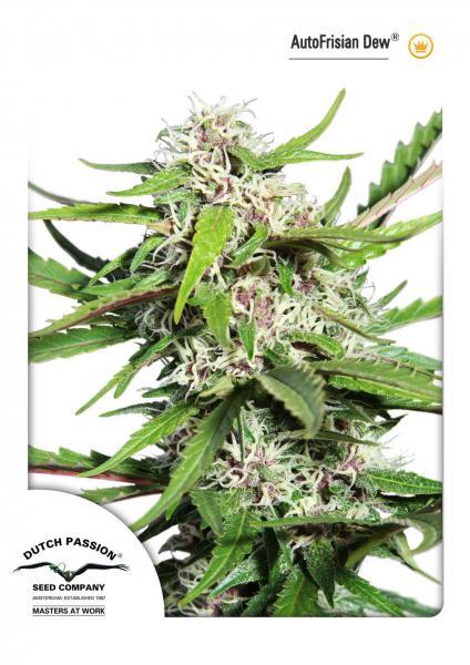 AutoFrisian Dew®- autoflowering semienka 3ks Dutch Passion