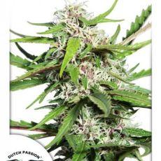 AutoFrisian Dew®- autoflowering semienka 7ks Dutch Passion