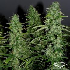 AutoWhite Widow®- autoflowering semienka 3ks Dutch Passion