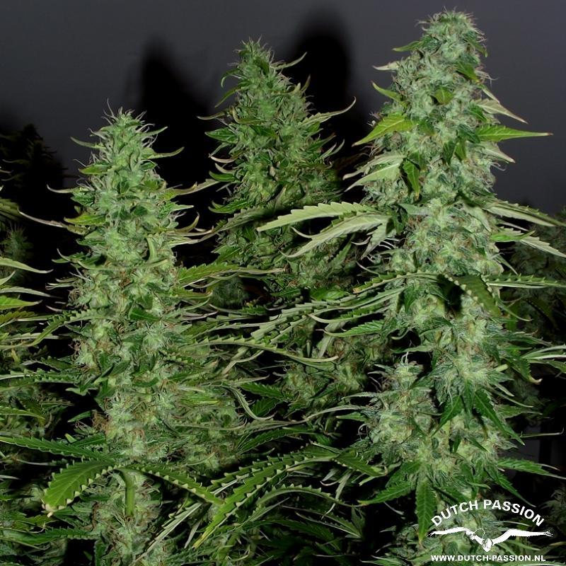 AutoWhite Widow®- autoflowering semienka 7ks Dutch Passion