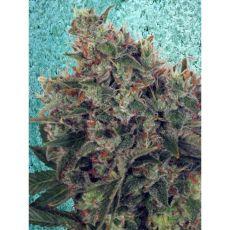 Ultra White Amnesia - feminizované semienka 5ks Ministry of Cannabis