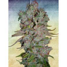 Auto Bluebery Domina - fem. a autoflowering semienka 5ks Ministry Of Cannabis