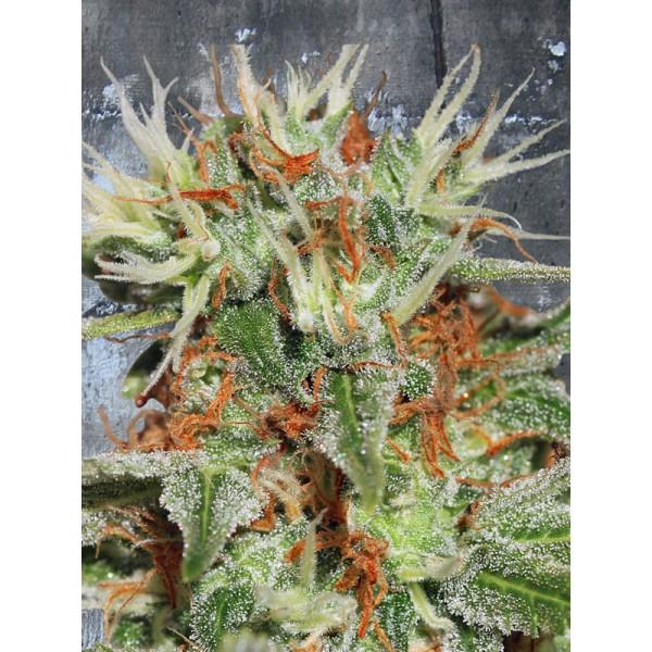 Auto Mary Jane - fem. a samonakvétací semínka 5ks Ministry Of Cannabis