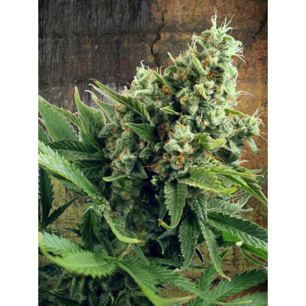Auto White Widow - fem. a autoflowering semienka 5ks Ministry Of Cannabis