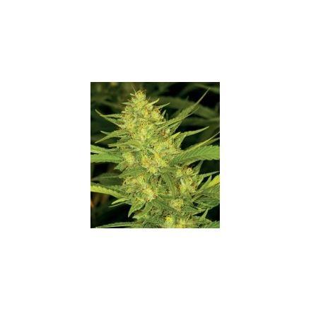 Diesel - feminizovaná semínka 6ks Natural Seeds