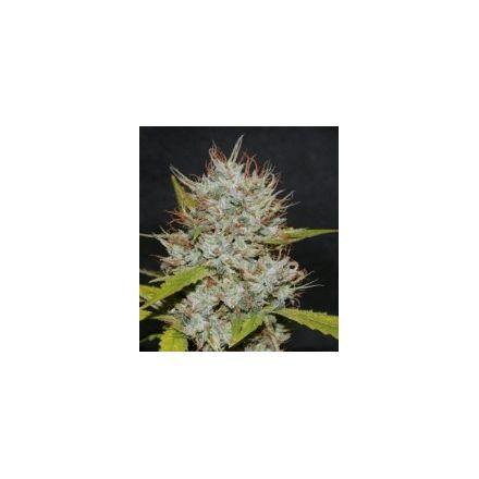 OG Kush - feminizovaná semínka 6ks Natural Seeds