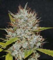 OG Kush - feminizované semienka 36ks Natural Seeds