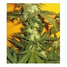 Jack 47 - feminizovaná semínka 36ks Natural Seeds