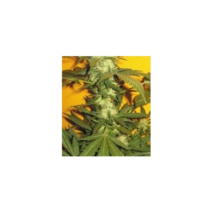 Jack 47 - feminizované semienka 36ks Natural Seeds