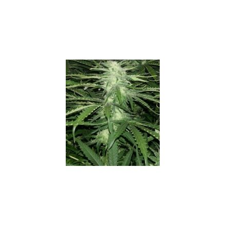 Critical Jack - feminizované semienka 6ks Natural Seeds