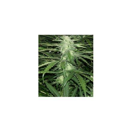 Critical Jack - feminizovaná semínka 6ks Natural Seeds