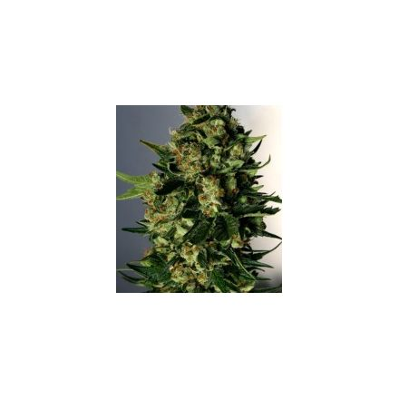 AK 47/ White Widow - feminizované semienka 6ks Natural Seeds