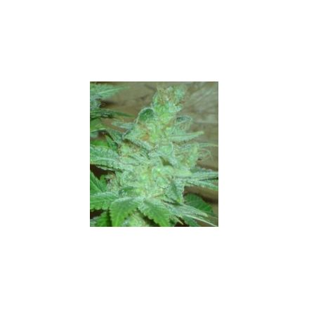 Blue Cheese Auto - fem. a samonakvétací semínka 6ks Natural Seeds