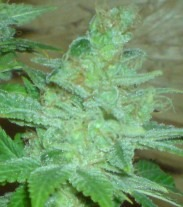 Blue Cheese Auto - fem. a autoflowering semienka 6ks Natural Seeds