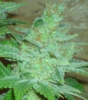 Blue Cheese Auto - fem. a autoflowering semienka 36ks Natural Seeds