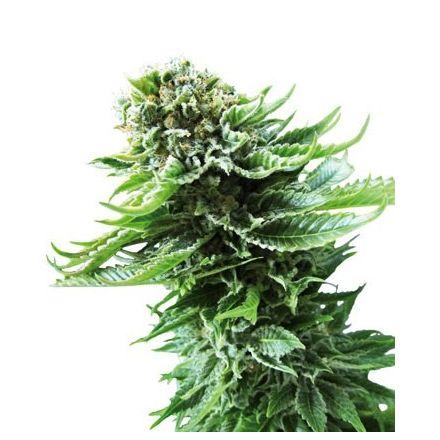 Northern Lights Automatic - fem. a autoflowering semienka 3ks Sensi Seeds