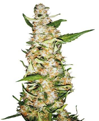 Skunk 1 Automatic - fem. a autoflowering semienka 3ks Sensi Seeds