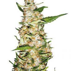 Skunk 1 Automatic - fem. a autoflowering semienka 10ks Sensi Seeds