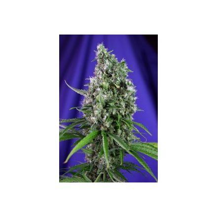 Sweet Trainwreck Auto - fem. a autoflowering semienka 3ks Sweet Seeds