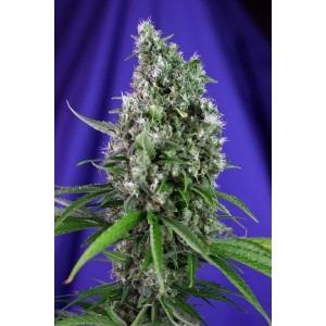 Sweet Trainwreck Auto - fem. a autoflowering semienka 5ks Sweet Seeds
