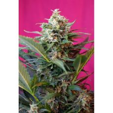 Big Devil XL Auto - fem. a autoflowering semienka 5ks Sweet Seeds
