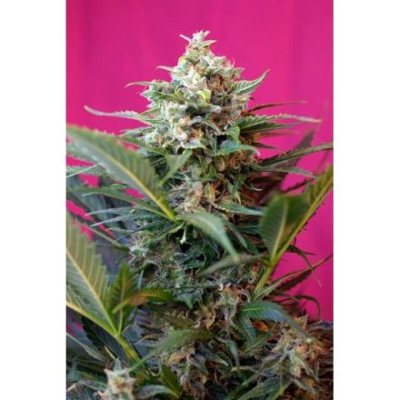 Big Devil XL Auto - fem. a samonakvétací semínka 5ks Sweet Seeds