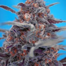 Devil Cream Auto - fem. a autoflowering semienka 10ks Sweet Seeds