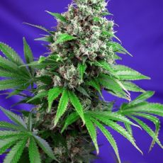 Killer Kush Fast Version - feminizovaná semínka 3ks Sweet Seeds