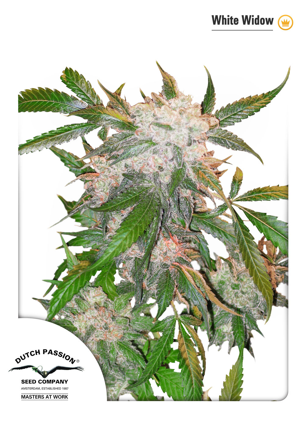 White Widow - standardizovaná semínka 10ks Dutch Passion