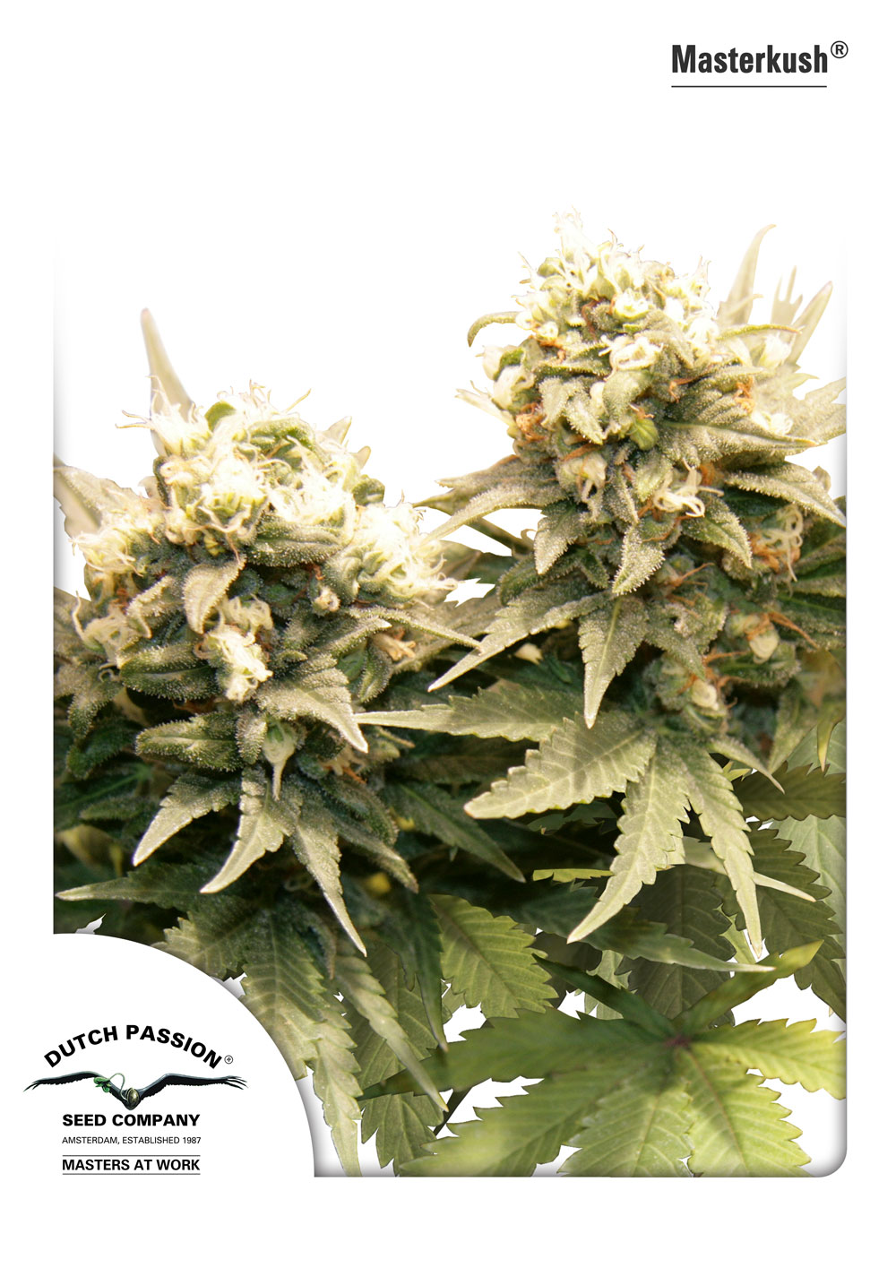 Masterkush - standardizovaná semínka 10ks Dutch Passion