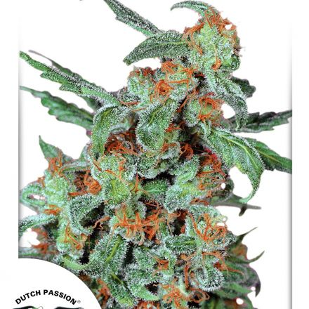 Orange Bud - štandardizované semená 10 ks Dutch Passion