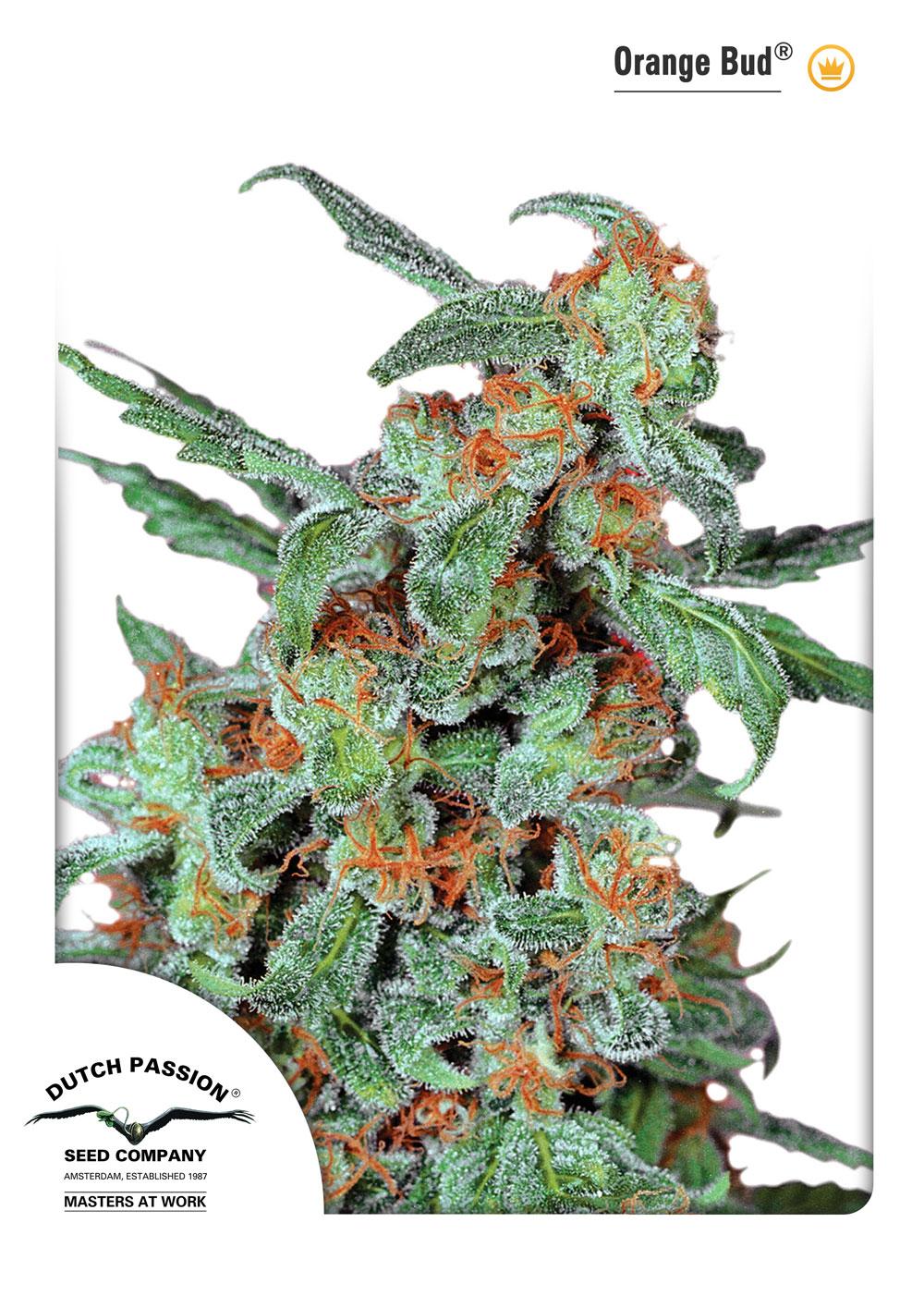 Orange Bud 10ks (štandardizované semená) Dutch Passion