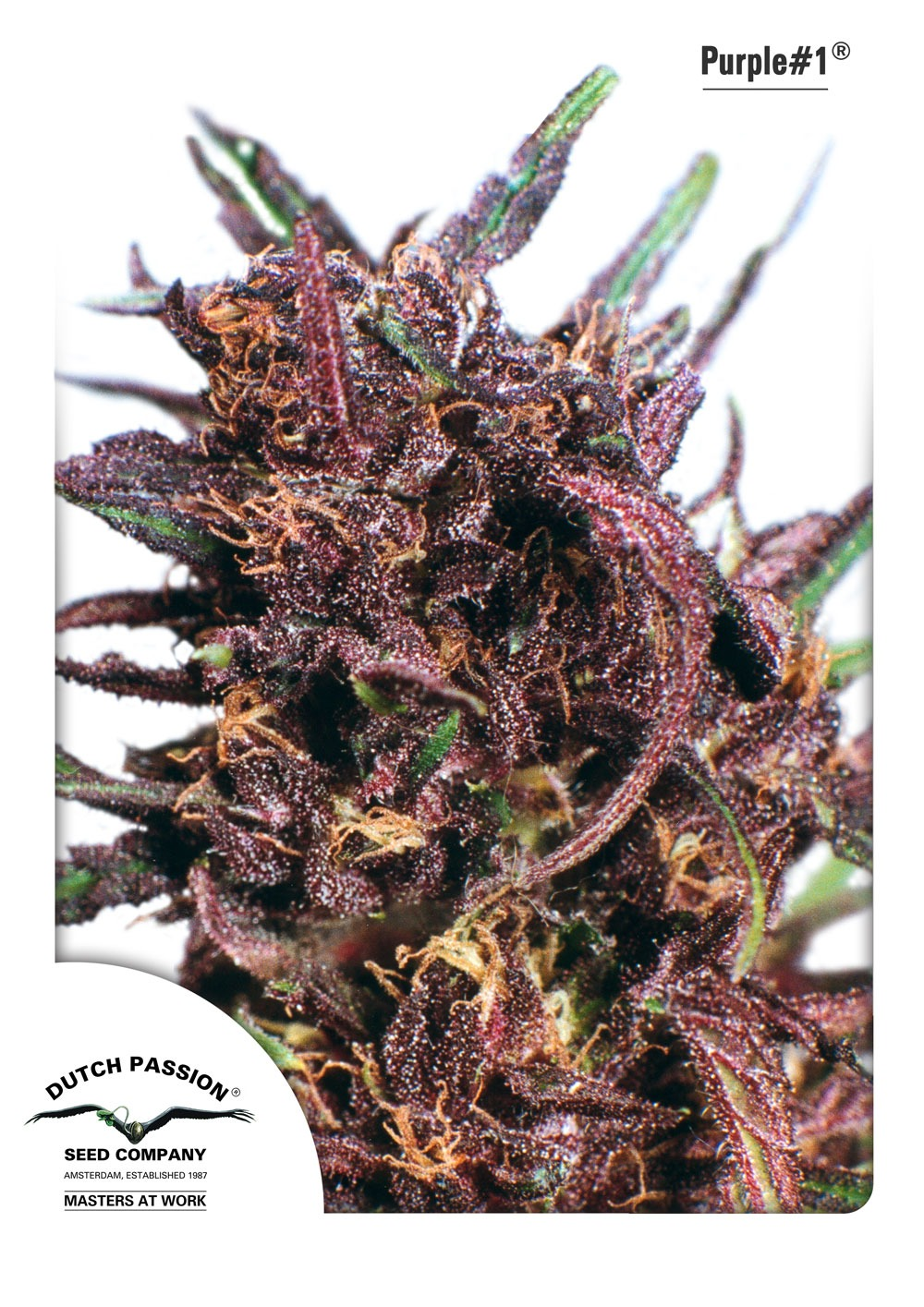 Purple 1 10ks (štandardizované semená) Dutch Passion