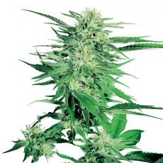 Big Bud - semínka 10 ks standardizované Sensi Seeds