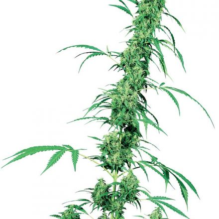 Fruity Juice - semínka 10 ks standardizovaná Sensi Seeds
