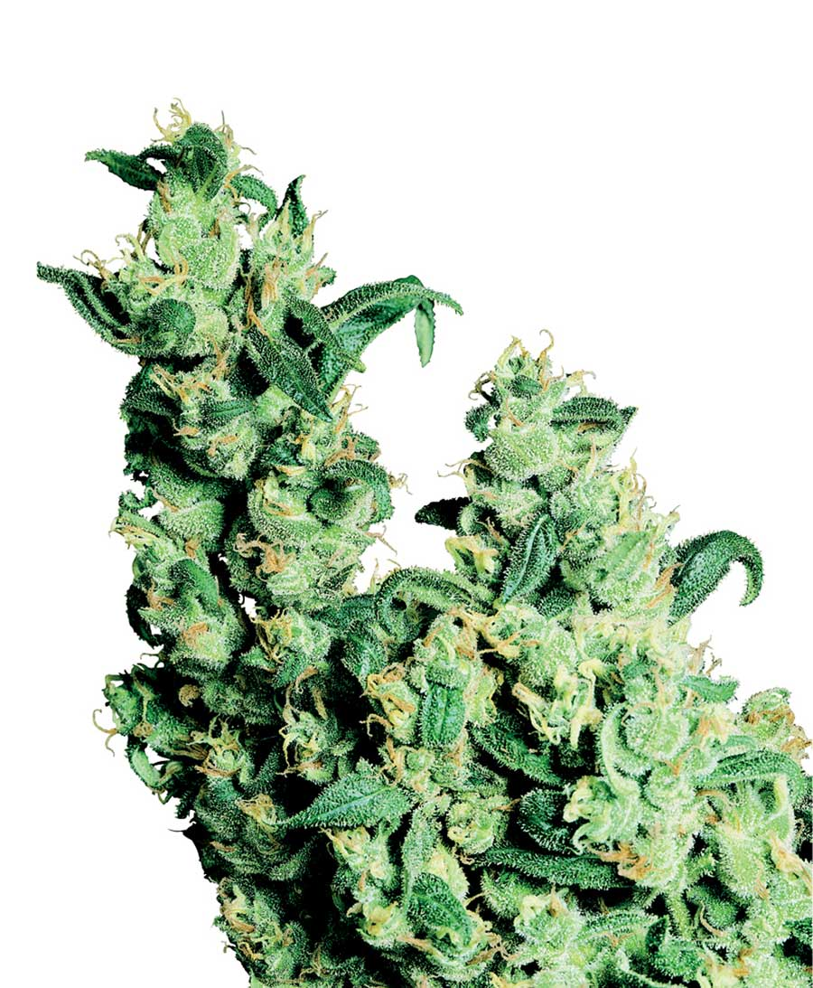Jack Herer - semínka 10 ks standardizovaná Sensi Seeds