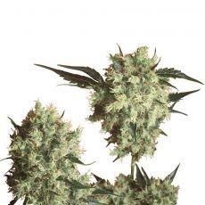 Marleys Collie - semínka 10 ks standardizovaná Sensi Seeds