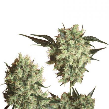Marleys Collie - semínka 10 ks standardizovaná Sensi Seeds