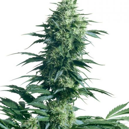 Mother's Finest - semínka 10 ks standardizovaná Sensi Seeds