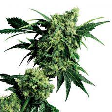 Mr Nice G13 x Hash Plant 10 ks štandardizované feminizované semená Sensi Seeds