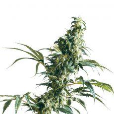 Mexican Sativa - semínka 10 ks standardizovaná Sensi Seeds