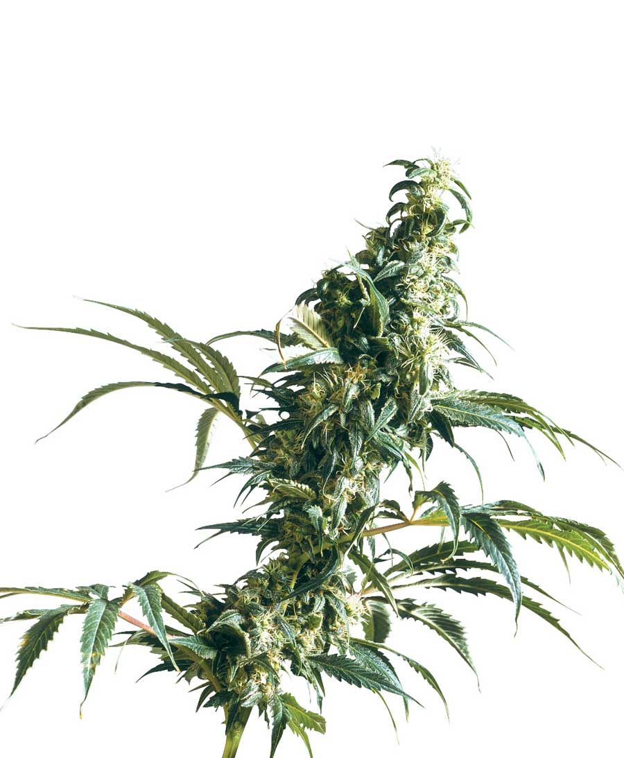 Mexican Sativa - semínka 10 ks standardizovaná Sensi Seeds