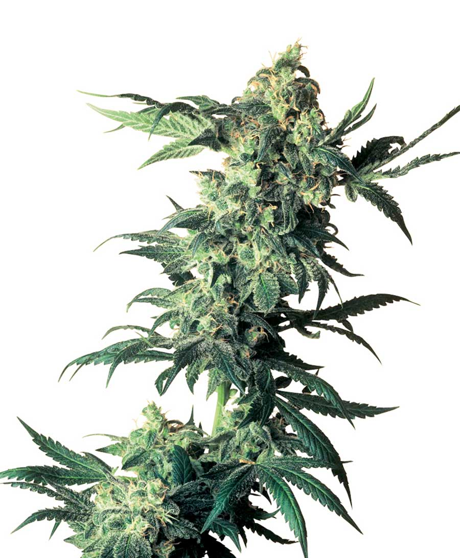 Northern Lights - semínka 10 ks standardizovaná Sensi Seeds