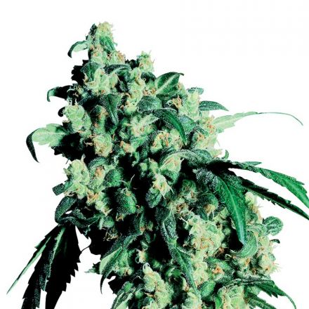 Super Skunk - semínka 10 ks standardizovaná Sensi Seeds